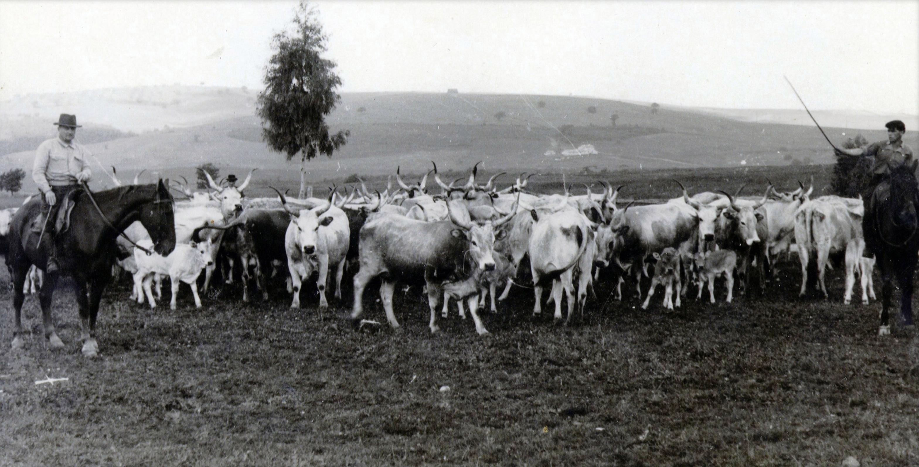 butteri-vacche-contadini-cavalli